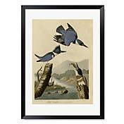 Framed Art Print Belted King fisher by Vintage Apple Collection